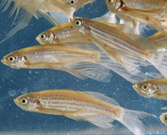 Zebra Fish Unit